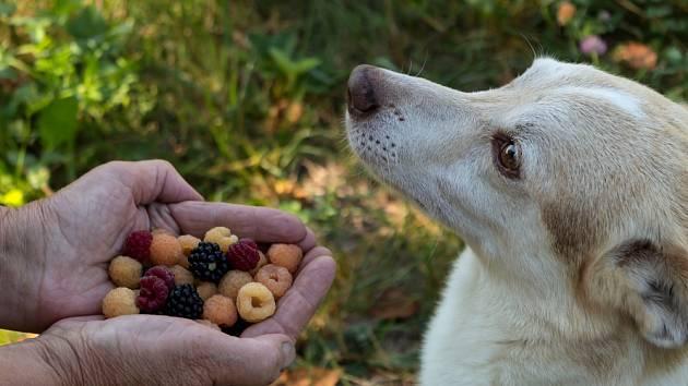 Jídelníček psa můžeme zpestřit například malinami.