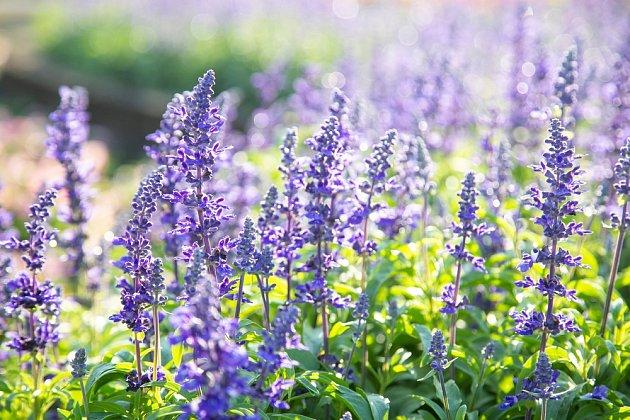 Některé šalvěje léčí, především však nádherně a neúnavně kvetou