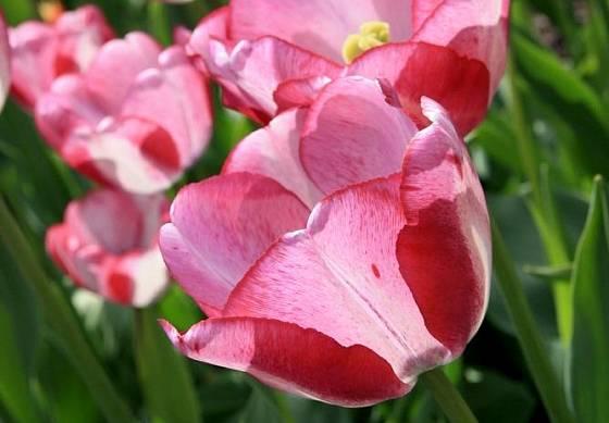 tulipán odrůdy Shirley Dream, skupina Triumph