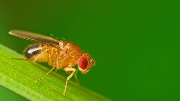Octomilka obecná (Drosophila melanogaster).