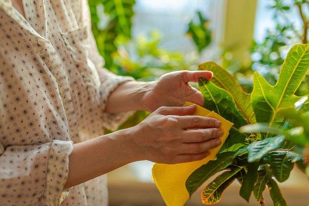 Pro dostatečnou vláhu můžete listy krotonu potírat vlhkým hadříkem.