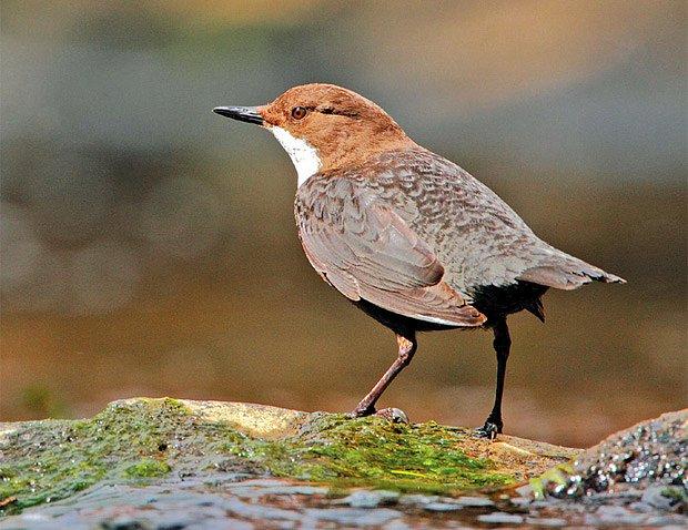 Amatérské velké černé ptáky
