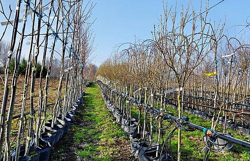 školka ovocných stromků