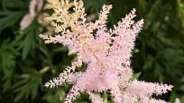 Udatna, růžově kvetoucí kultivar.