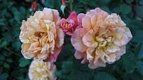 Aloha (Kordes, Německo, 2003). Hustý, asi 8 cm velký květ je oranžově růžový, poupě světle červené; výška růže 3,5 m. Opakovaně kvetoucí