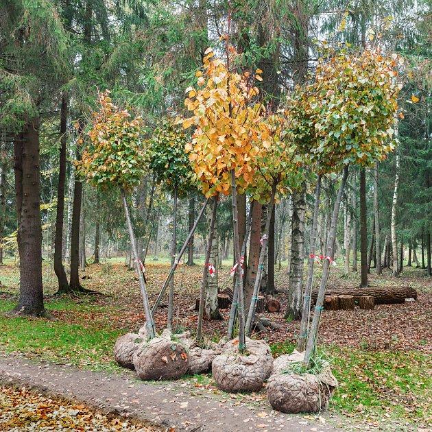 Listnaté stromy s obaleným kořenovým balem jsou připravené na odzimní výsadbu.