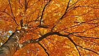 buky mají krásně vybarvené podzimní listí a elegantní kůru