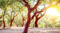 dub korkový (Quercus suber)