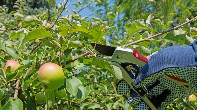 jabloň řez léto