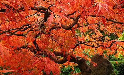 javor japonský