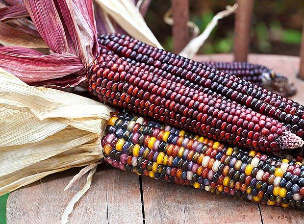 Barevné klasy kukuřice jsou velmi dekorativní