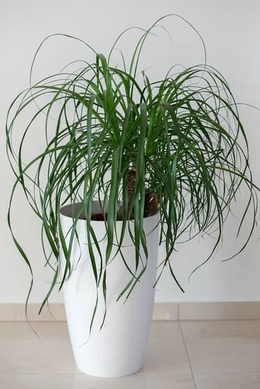 Nolina - vhodná pokojová rostlina.