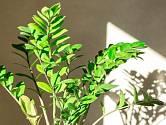 Zamiokulkas zamiifolia.