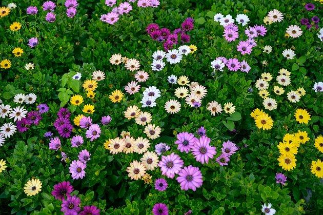 Rostlina by měla být umístěna na slunný balkón nebo terasu či záhon s jižní expozicí.