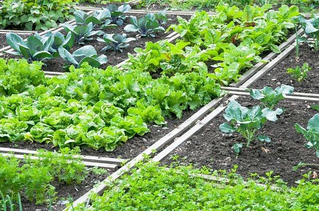 salát, mrkev, mangold a další dobroty na zeleninové zahrádce