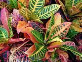 Podivec pestrý neboli kroton (Codiaeum variegatum)