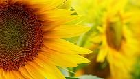 Slunečnice se otáčejí za sluncem