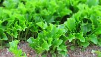 Salát ke sběru mladých listů sejte hustě