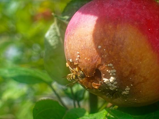 Vosy snadno přenášejí hnilobu na dozrávající plody.