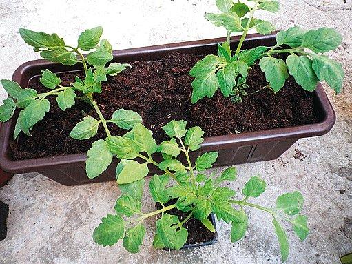 Výsadba rajčat do truhlíku