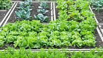 Setí ve správných rozestupech je základem optimálně využitého zeleninového záhonu