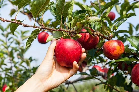 Zralé jablko lze snadno utrhnout