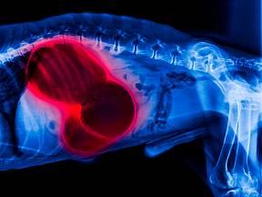 Dilatace a torze žaludku je pro psy velmi nebezpečná