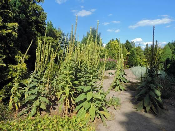 Divizny produkují množství drobných semen a snadno se vysemeňují.