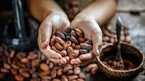 Kakaové boby, semena tropického stromu kakaovníku (Theobroma cacao)