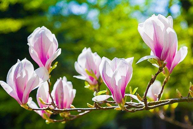 magnólie v květu