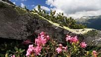 Rhododendron ferrugineum zvaný alpská růže