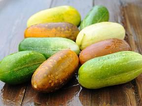 Přezrálé okurky mají žlutou až oranžovou barvu