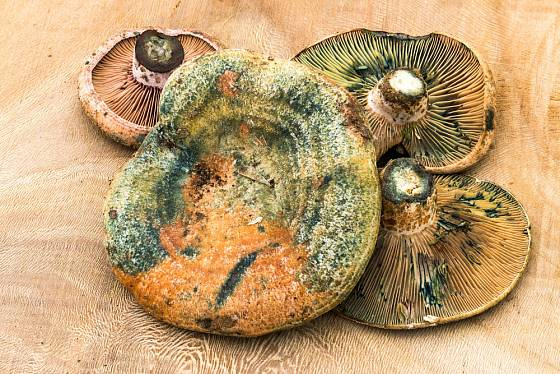 ryzec borový (Lactarius deliciosus)