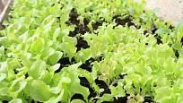 Mladý salát k řezu listů ve skleníku