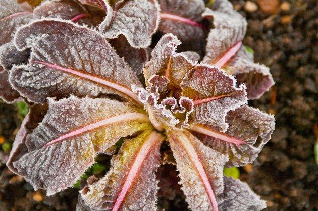 Řada druhů zeleniny snáší chladné počasí lépe, než jsme tušili.