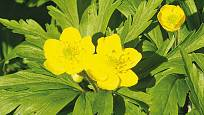 sasanka Anemone ranunculoides
