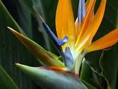 Strelície královská (Strelitzia reginae)