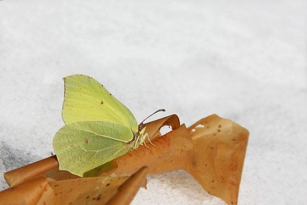 žluťásek řešetlákový je motýl, kterého můžete zahlédnout za teplých dní i v zimě