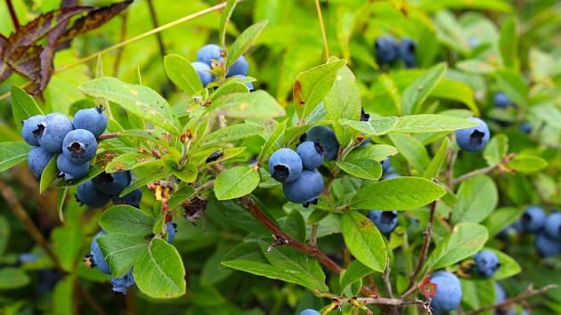 5 likvidačních chyb, kterých se můžete dopustit při pěstování kanadských borůvek.