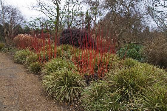 Ostřice (Carex) v kombinaci se svídou bílou (Cornus alba) vytváří pěkné barevné spojení.