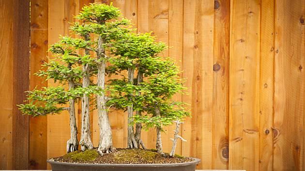 lesík z cypřišových bonsají