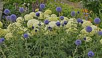 bělotrn modrý, Echinops ritro, odrůda 'Veitch's Blue