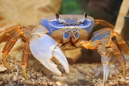 krab suchozemsý, Cardisoma armatum