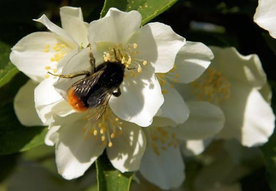 Květy pustorylu lákají a sytí čmeláky