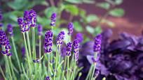 levandule, vděčná vytrvalá bylinka