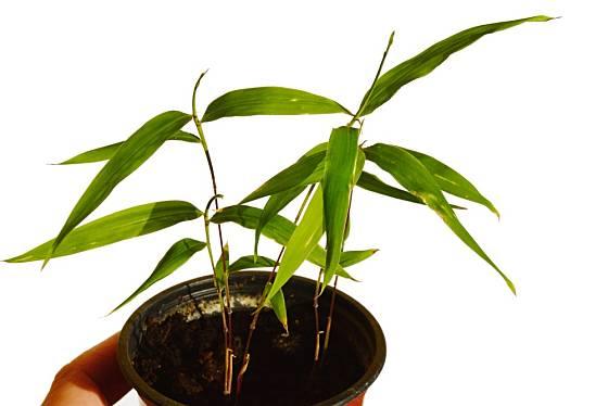 Listoklasec jedlý (Phyllostachys edulis) zvaný též král bambusů.