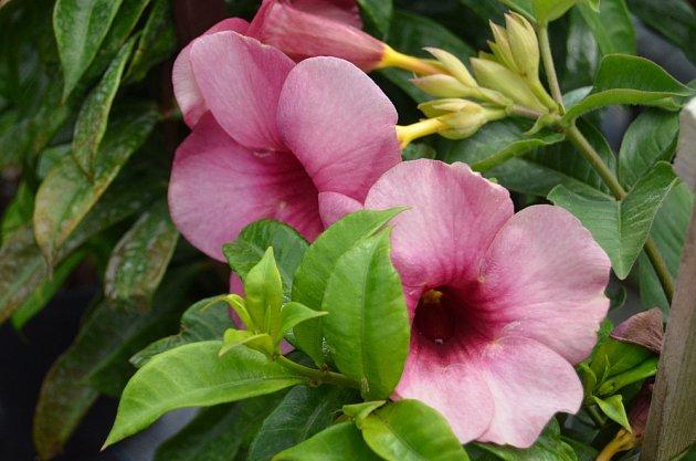 mandevilla a její velké, okouzlující květy