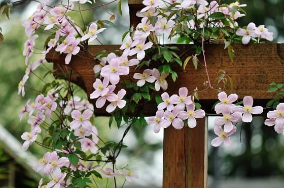 Plamének horský (Clematis montana), jeden z nejdříve kvetoucích.