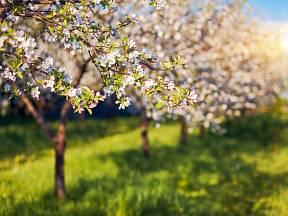 Je nejvyšší čas vysadit poslední ovocné stromky