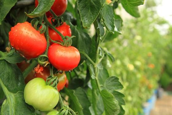 Příliš vlhkosti rajčatům nesvědčí